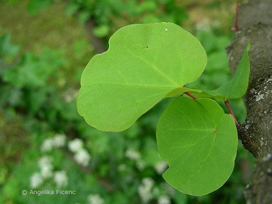 Cercis siliquastrum - Gewöhnlicher Judasbaum, Laubblätter   © Mag. Angelika Ficenc