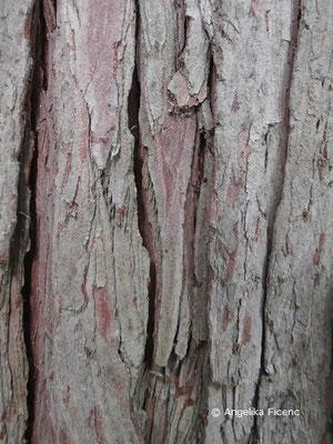 Chamaecyparis pisifera  © Mag. Angelika Ficenc