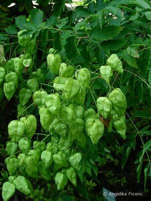Koeleuteria paniculata - Rispiger Blasenbaum, unreife Früchte