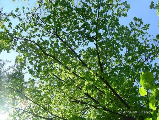 Taschentuchbaum - Davidia involucrata, Belaubung