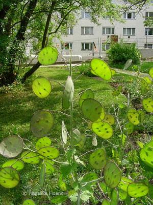 Lunnaria annica - Silberblatt, Unreifer Fruchtstand