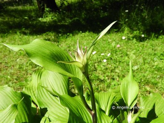 Hosta longipes, Blütenknospe © Mag. Angelika Ficenc