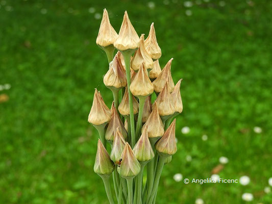 Allium siculum © Mag. Angelika Ficenc