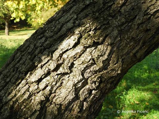Pyrus pyrifolia var. culta - Naschi-Birne, Stamm