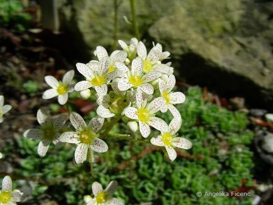 Saxifraga paniculata - Rispen Steinbrech