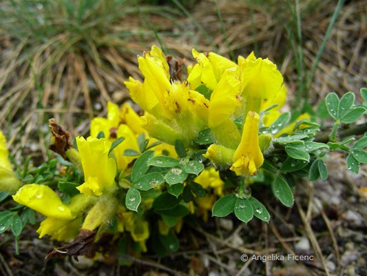 Genista germanica - Deutscher Ginster   © Mag. Angelika Ficenc