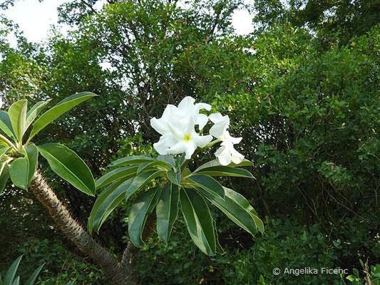 Pachypodium lamerei - Madagaskar Palme, Blütenstand