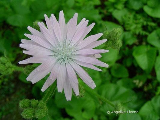 Cicerbita macrophyllum - Großblättriger Milchlattich, Blüte in Aufsciht