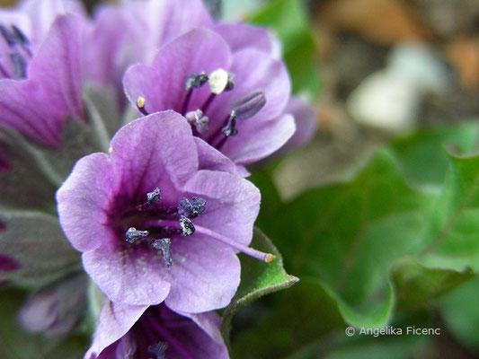 Physochlaina physaloides  © Mag. Angelika Ficenc