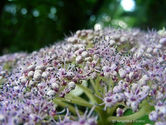 Hydrangea aspera - Raue Hortensie, fertile Blüten
