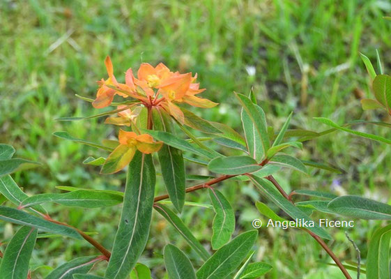 Euphorbia griffithii  © Mag. Angelika Ficenc