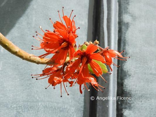 Greyia radlkoferi   © Mag. Angelika Ficenc