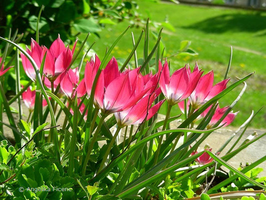 Tulipa orphanidea flava  © Mag. Angelika Ficenc