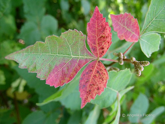 Rhus aromatica - Essigbaum , beginnende Herbstfärbung
