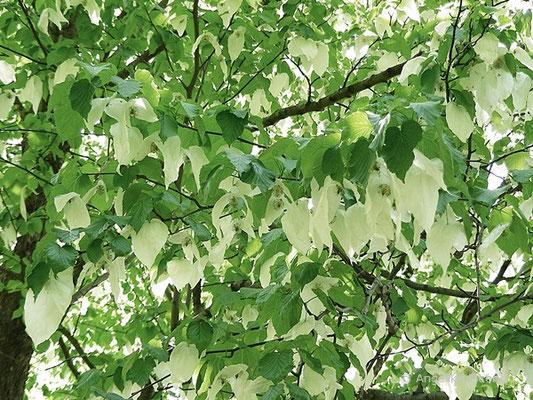 Taschentuchbaum - Davidia involucrata, Blüten