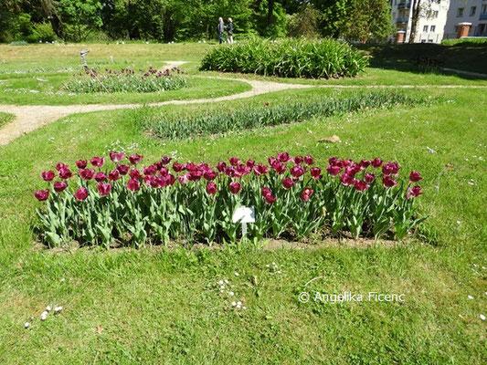 "Tulipa ""Kansas"" © Mag. Angelika Ficenc"