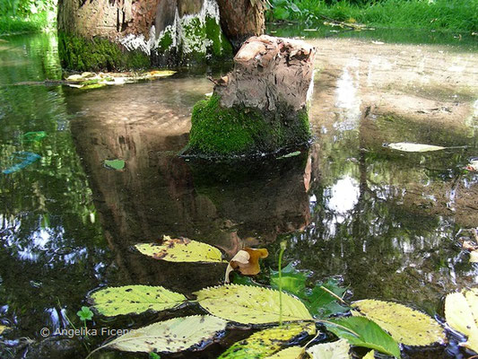 Taxodium distichum - Sumpfzypresse  © Mag. Angelika Ficenc