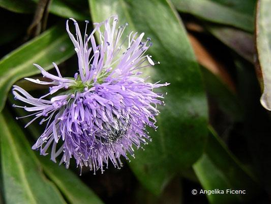 Globularia nudicaulis - Nacktstiel Kugelblume, Blüten