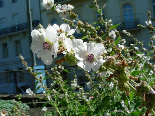 Althea officinalis - Eibisch