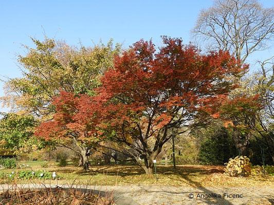 Acer palmatum - Fächerahorn, Habitus      © Mag. Angelika Ficenc