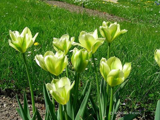 Tulipa viridiflora  © Mag. Angelika Ficenc