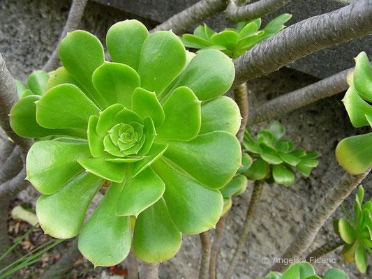 Aeonium arboreum, Blattrosette