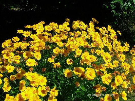 Cosmos Sulphureum - Gelbes Schmuckkörbchen