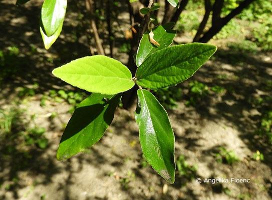 Viburnum utile - Nützlicher Schneeball, Laubblätter