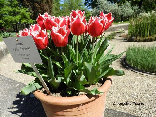 """Tulipa """"Canasta"""" - Gefranste Tulpe  © Mag. Angelika Ficenc"""