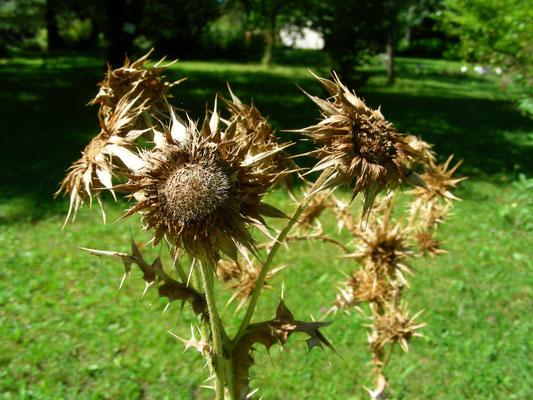 Berkheya cisiifolia, Samenstand