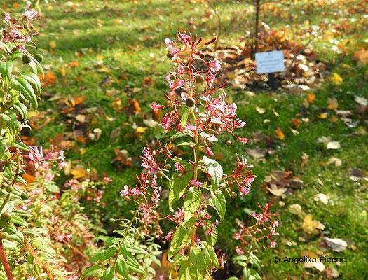 Lopezia racemosa - Mexikanische Lopezie, Habitus