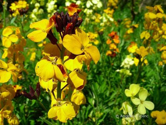 "Erysimum ""Bowless´s Mauve - Gartengoldlack"