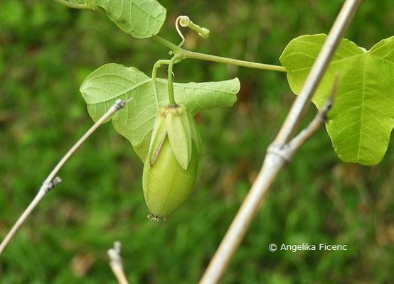 Passiflora gracilis  © Mag. Angelika Ficenc