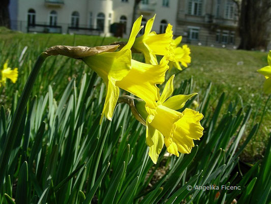 Narcissus pseudonarcissus var. pseudonarcissus - Gelbe Narzisse      © Mag. Angelika Ficenc