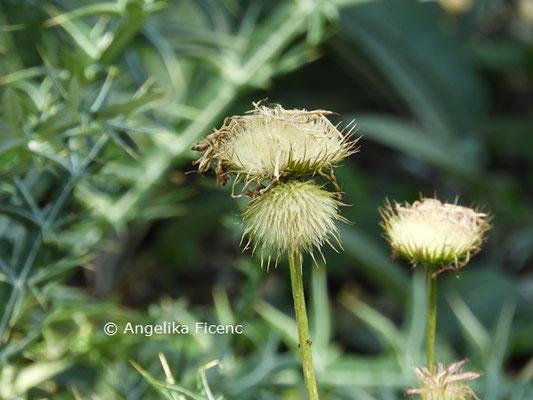 Jurinea cretaceae  © Mag. Angelika Ficenc