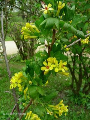 Ribes aureum - Goldjohannisbeere, nicht mehr vorhanden