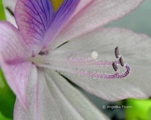 Eichhornia crassipes - Wasserhyazinthe  © Mag. Angelika Ficenc
