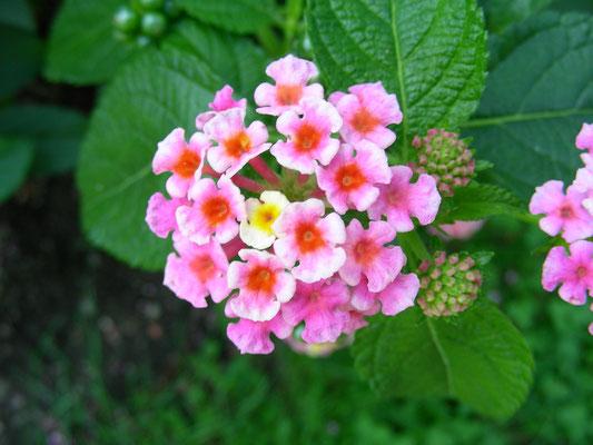 Lantana camera - Wandelröschen, Blütenstand  © Mag. Angelika Ficenc