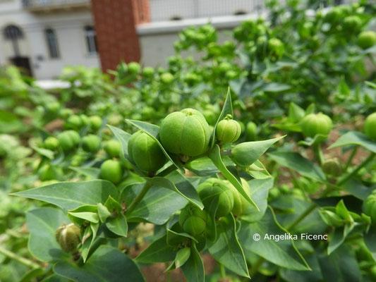 Euphorbia lathyris  © Mag. Angelika Ficenc