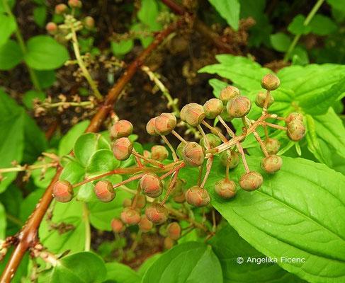 Coriaria japonica,    © Mag. Angelika Ficenc