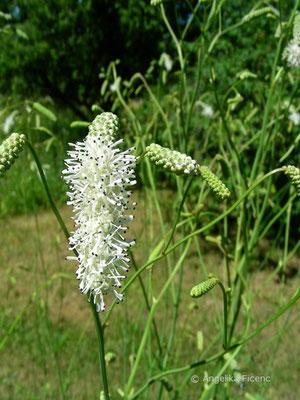 Sanguisorba Tenuifolia - Ostasiatischer Wiesenknopf