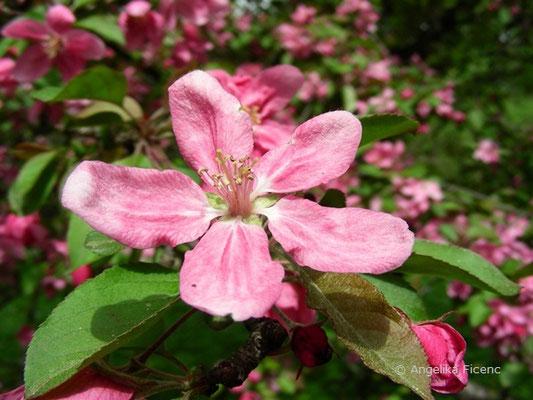 Malus sylvestris rosa - Wildapfel
