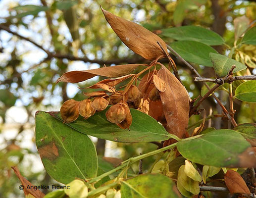 Fontanesia phillyreoides ssp. fortuenei - Glattrandige Fontanesie, © Mag. Angelika Ficenc