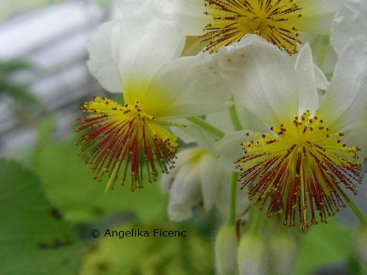 Sparrmannia africana © Mag. Angelika Ficenc