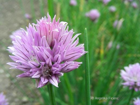 Allium schoenoprasum L. var. Schoenoprasum - Garten Schnittlauch, Kulturform