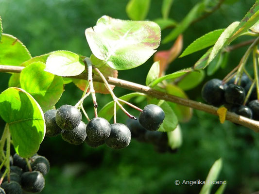 Aronia melanocarpa - Kahle Apfelbeere, Früchte