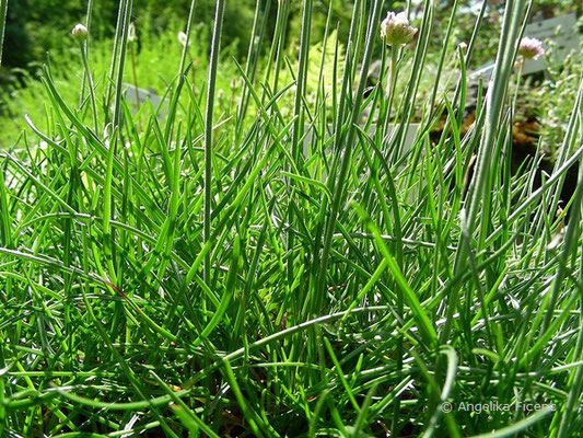 Armeria junipifolia - Wacholder Grasnelke, Laubblätter