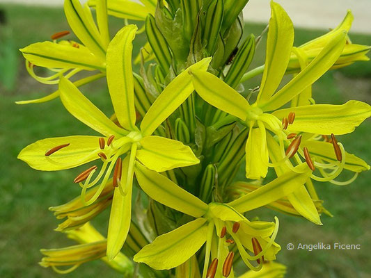 Asphodeline lutea - Gelber Affodil, Blütenstand mit Blüten