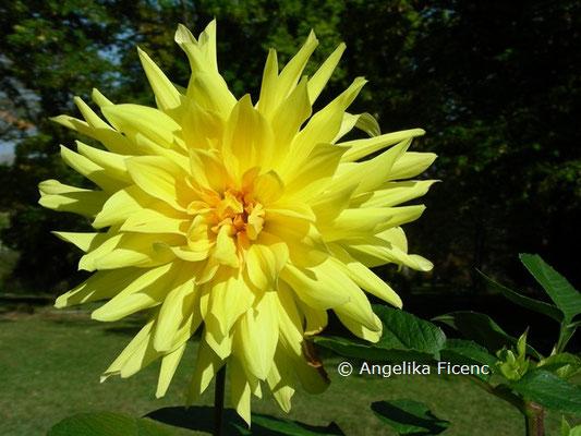 Dahlia x hortensis Goldener Vulkan © Mag. Angelika Ficenc