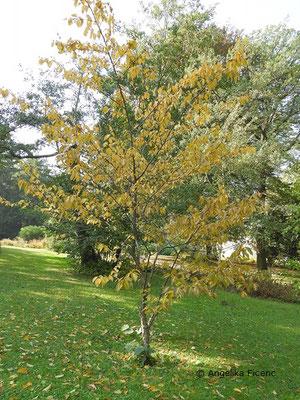 Betula alleghaniensis, Habitus  © Mag. Angelika Ficenc